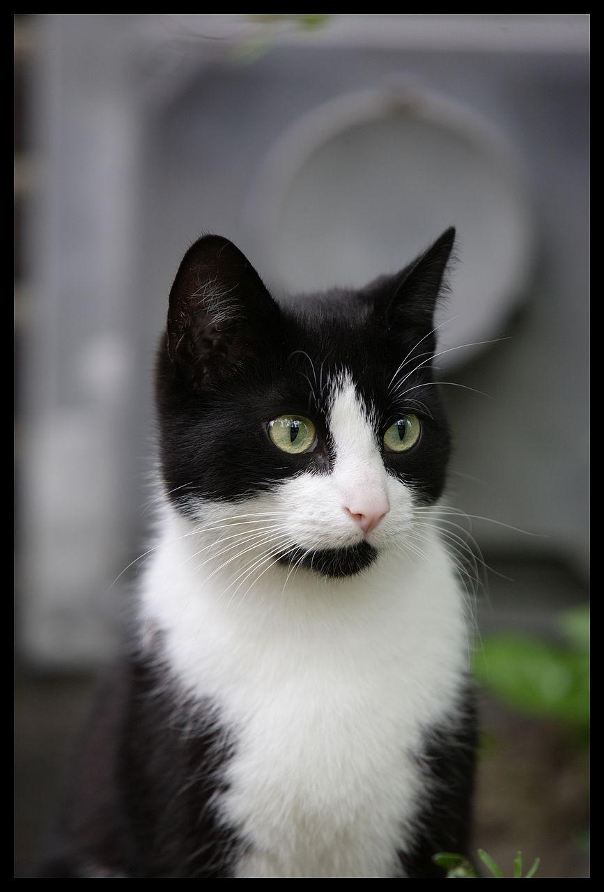 Black And White Tom Cat | www.pixshark.com - Images ...