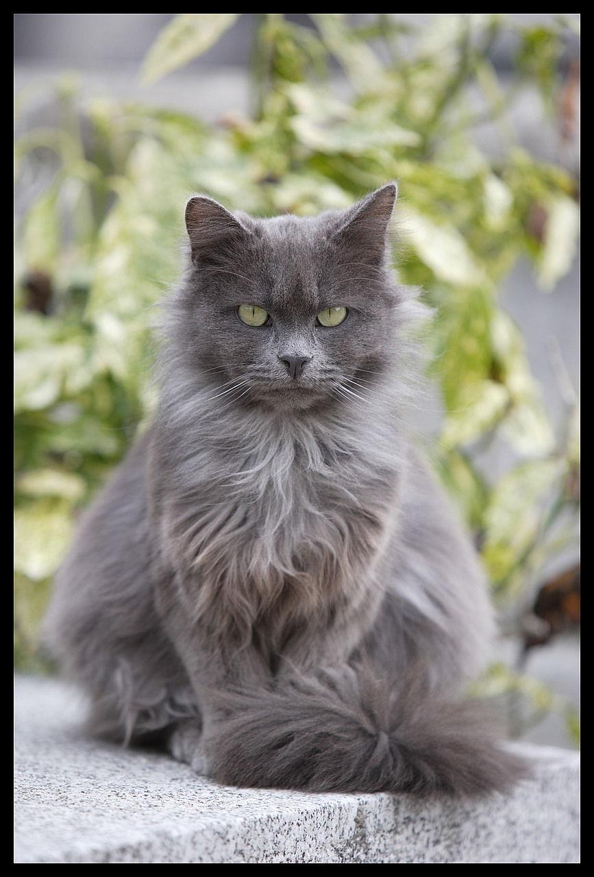 fierce looking grey cat